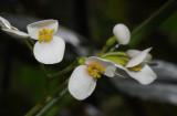 Begonia seychellensis. Female flowers.jpg