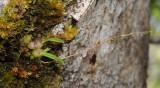 Bulbophyllum sp.jpg