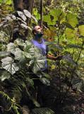 30.34 Begonia seychellensis.2.jpg