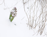 Himantoglossum robertianum Noordwijk.2.jpg