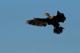 Cormorant maneuvering to land