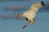 Ibis about to land