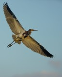 Tricolor heron flying over
