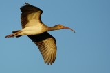 Juvenile ibis fly-by