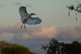 Cattle egret sunset landing