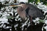 Great blue heron soaking at dusk