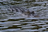 Alligator cruising this way