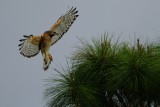 Red-shouldered hawk landing