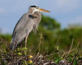 Great blue heron on a nesting spot