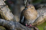White winged dove in a tree