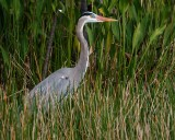 Great blue heron in the grasses