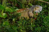 Green iguana crawling through the shallows