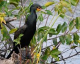 Cormorant in a low tree