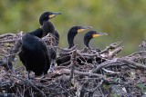 Nest of cormorant chicks