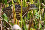 American bittern hunting through the reeds