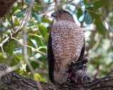 Cooper's hawk with his meal