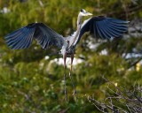 Great blue heron coming in to land