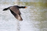 Cormorant flying over the water