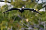 Cormorant flying at the lens