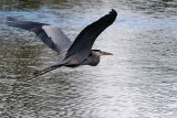Great blue heron flying away