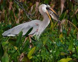 Great blue heron with a giant fish meal