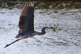 Great blue heron flying off to eat his turtle