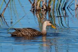Mottled duck in lovely water