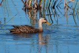 Mottled duck cruising