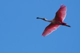 Roseate spoonbill flying over