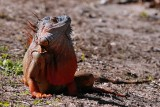 Orange colored green iguana