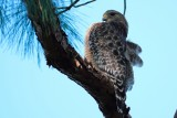 Red-shouldered hawk in a tree