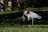 Great blue heron with a big fish