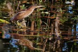 Least bittern with his reflection