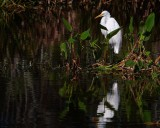 Great egret among the scenery
