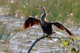 Backlit anhinga on a branch