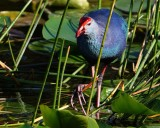 Grey-headed swamphen coming through the reeds