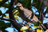 White-winged dove in a tree