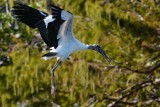 Wood stork flying against the foliage