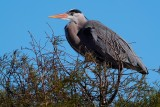 Great blue heron atop a tree island