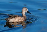 Male blue-winged teal cruising