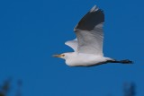 Cattle egret flying past