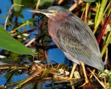 Green heron in lovely light