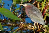 Green heron hanging out in nice light