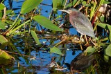 Green heron plus his reflection