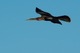 Anhinga flying by