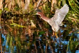 Green heron upset calling out and flying