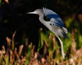 Little blue heron about to land