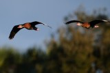 Black-bellied whistling ducks flying together
