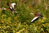 Two whistling ducks flying past the trees