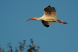 Ibis flying by